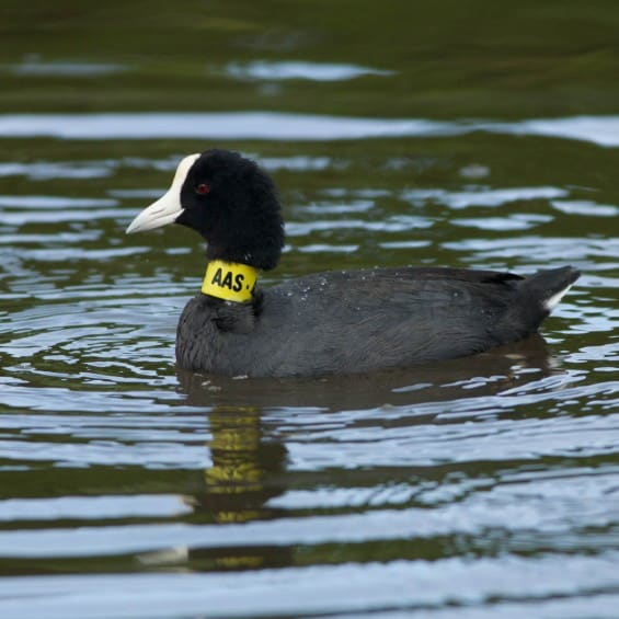 Some coots in the wetland were tagged for a UH study. We were surprised to learn that some of our birds flew to Kauai and Molokai.