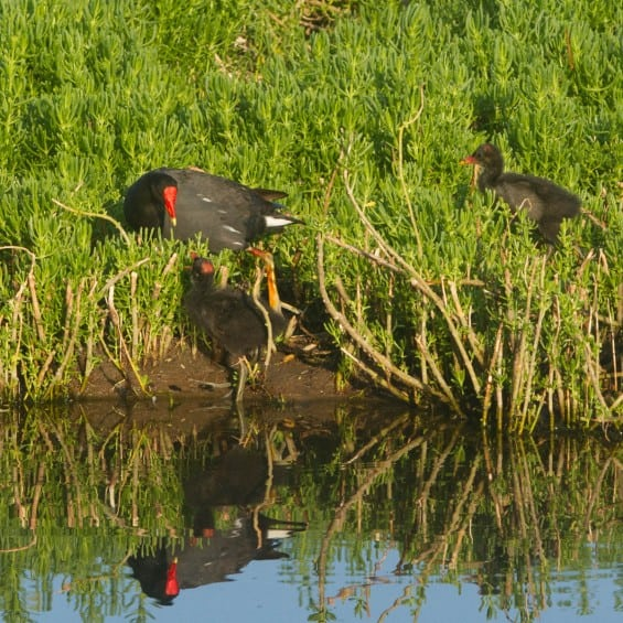 gallinule with chicks