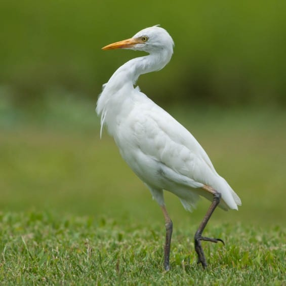 20150404-Cattle-Egret_4330