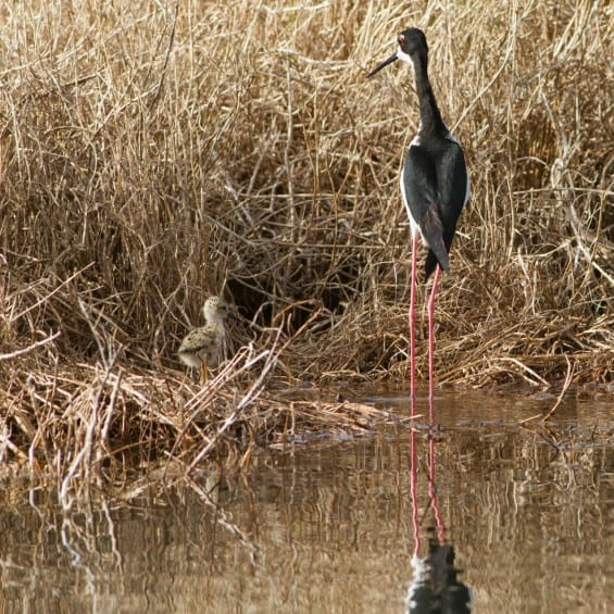 A female stilt watches over her young chick.