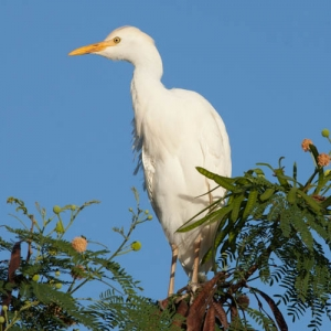 20160102-Cattle_Egret_9262
