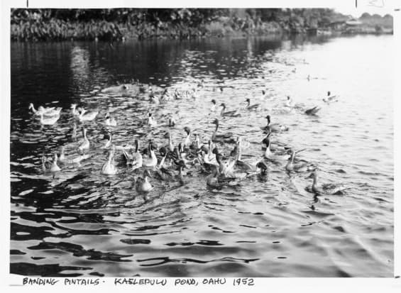 20090918-BandingPintails