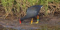 Kaelepulu gallinules banded for study